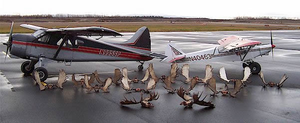 Moose hunting air charters